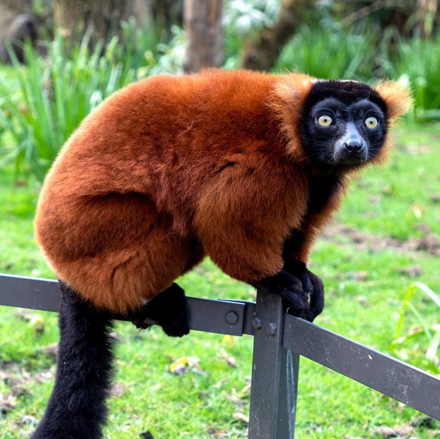 Voorbeeld Lemur
